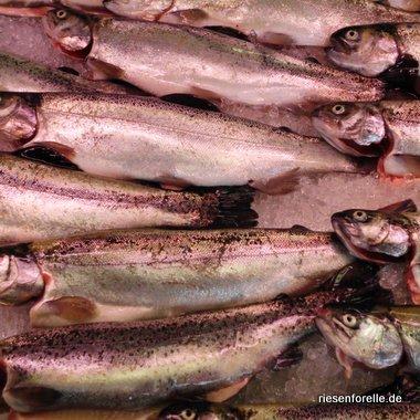 geschlachtete Forellen ohne Kiemen auf Eis