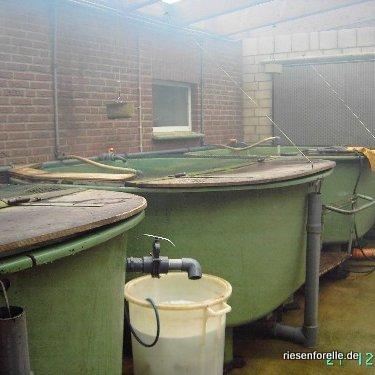 In Qwellwasser werden die für den Verkauf bestimmten Fische in Hälterbecken gehalten