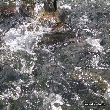 Lachsforellen 3 - 6 kg während der Fütterung