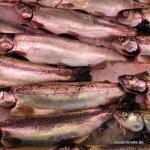 geschlachtete Forellen ohne Kiemen